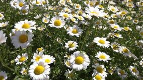 F?lt av blommor eller kamomill f?r vit tusensk?na stock video