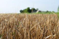 F?lt av korn, slut upp arkivbilder