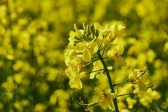 F?lt av rapsfr?t, oljefr?n N?rbild i ett kultiverat jordbruks- f?lt arkivbilder