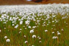 F?lt av Scheuchzers Cottongrass, Hrafnafifa, Island arkivbild