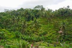 F?lt f?r Tegallalang risterrass - Ubud - Bali - Indonesien arkivfoto