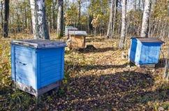 för bikupastand för höst björk färgade trees Arkivfoton