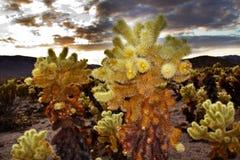 för joshua för kaktuschollaträdgård tree nationalpark Royaltyfria Foton