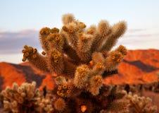 för joshua för kaktuschollaträdgård tree nationalpark Arkivbild