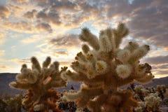 för joshua nationell p för kaktuschollaträdgård tree solnedgång Royaltyfri Fotografi