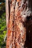 förmultna tree Arkivbild