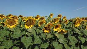 f?r blommasolrosor f?r f?lt blom- yellow Underbart lantligt landskap av solrosf?ltet i solig dag stock video