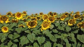 f?r blommasolrosor f?r f?lt blom- yellow Underbart lantligt landskap av solrosf?ltet i solig dag lager videofilmer