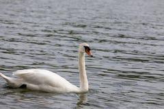 F?r Cygnusolor f?r stum svan simning i bl?tt vatten med reflexion arkivfoton