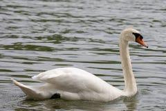 F?r Cygnusolor f?r stum svan simning i bl?tt vatten med reflexion arkivfoto
