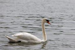 F?r Cygnusolor f?r stum svan simning i bl?tt vatten med reflexion arkivbilder