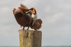 f?r Kalifornien f?r barbara n?bbbrown pelikan f?r morgonen f?r marinaen perched den centrala kust- tidiga fj?drar pir santa royaltyfri foto