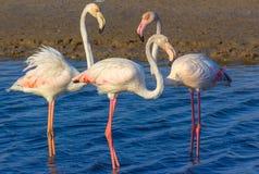 F?r?lskelsetriangel av rosa flamingo i havslagun arkivbild