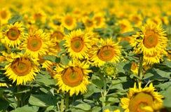 f?r mittf?lt f?r bi yellow f?r solros f?r sun f?r sommar f?r ljus blomma sen royaltyfri foto
