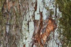 f?r poplartextur f?r sk?ll gammal tree mot bakgrund field bl?a oklarheter f?r gr?n vitt wispy natursky f?r gr?s colors naturligt royaltyfri fotografi