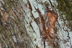 f?r poplartextur f?r sk?ll gammal tree mot bakgrund field bl?a oklarheter f?r gr?n vitt wispy natursky f?r gr?s colors naturligt arkivfoto