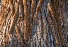 F?r Sequoiadendrongiganteum f?r j?tte- sequoia sk?llet f?r stam close upp Selektivt fokusera r fotografering för bildbyråer