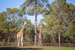 F?rbluffa djuret den h?gv?xta giraffet royaltyfria foton
