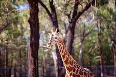 F?rbluffa djuret den h?gv?xta giraffet royaltyfria bilder