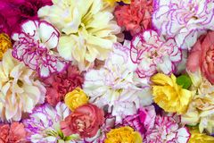 F?rgrik blommabukettbakgrund som g?ras av den f?rgrika nejlikablommav?ggen f?r bakgrund och tapet arkivfoto
