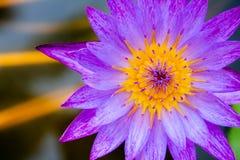 F?rgrika lotusblommablommor blommar i morgonen arkivbild