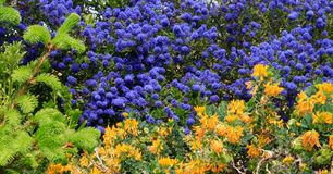 f?rgrikt blom- f?r bakgrund arbeta i tr?dg?rden f?r design Kalifornien lila royaltyfria foton