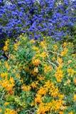 f?rgrikt blom- f?r bakgrund arbeta i tr?dg?rden f?r design Kalifornien lila royaltyfri bild