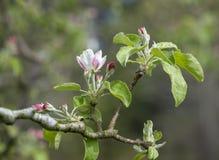 F?rsta Apple blomning av v?ren fotografering för bildbyråer