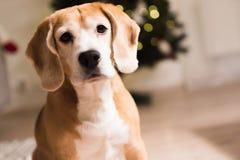 F?rtjusande st?ende f?r beaglehund som sitter p? vardagsrum fotografering för bildbyråer