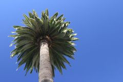 F11 Palm tree at Hotel del Coronado. Palm under blue skies in Southern California Royalty Free Stock Images