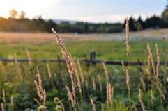 Faça feno o brilho brilhante em um dia ventoso mesmo antes do por do sol Fotos de Stock