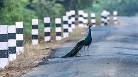 Faça a maneira para a vida selvagem - pavões nas estradas de india rural fotos de stock royalty free