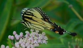 Faça Swallowtail oriental imagem de stock royalty free