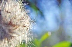 Faça a um desejo o fundo sonhador macio do dente-de-leão imagem de stock royalty free