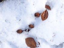 Faînes sur la neige Photo stock