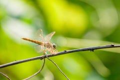 Fałdowy skrzydła królewiątka lsland Obraz Royalty Free