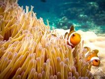 fałszywa błazen ryba Zdjęcia Royalty Free