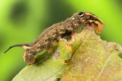 Fałszywego oka gąsienica zdjęcia stock