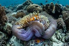 Fałszywy Clownfish i gospodarza anemon obrazy stock