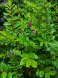 Fałszywy heather†‹plant†‹tropical†‹flower†‹ obrazy stock