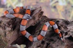 Fałszywy koralowy wąż Zdjęcia Royalty Free
