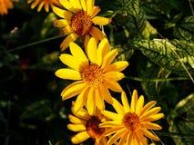 Fałszywy słonecznik, szorstki oxeye & x27, - Heliopsis helianthoides; Loraine Sunshine& x27; fotografia royalty free