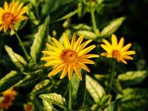 Fałszywy słonecznik, szorstki oxeye & x27, - Heliopsis helianthoides; Loraine Sunshine& x27; zdjęcie stock
