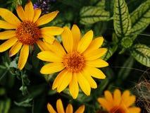 Fałszywy słonecznik, szorstki oxeye & x27, - Heliopsis helianthoides; Loraine Sunshine& x27; obraz royalty free