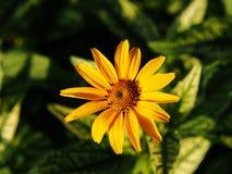 Fałszywy słonecznik, szorstki oxeye & x27, - Heliopsis helianthoides; Loraine Sunshine& x27; obrazy stock