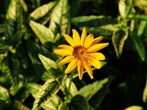 Fałszywy słonecznik, szorstki oxeye & x27, - Heliopsis helianthoides; Loraine Sunshine& x27; obraz stock