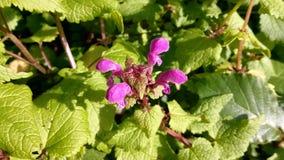 Fa?szywej pokrzywy lamium maculatum z osobliwie r??owymi kwiatami zdjęcie royalty free