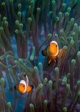 Fałszywy Clownfish na anemonie Obrazy Stock