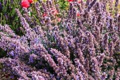 Faassenii fleurissant bleu de Nepeta de cataire Photographie stock