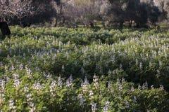 faba beans plantation Royalty Free Stock Photos